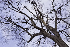 The tree in the blue sky Royalty Free Stock Photography