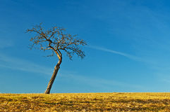 Tree with blue sky Royalty Free Stock Photography