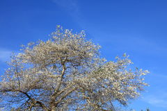 Tree and  blue sky Royalty Free Stock Photography