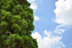 Tree and blue sky. Pine tree and blue sky background Royalty Free Stock Image
