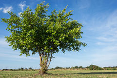 Tree on blue sky background. Green tree on blue sky background Royalty Free Stock Photography