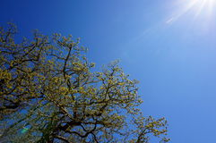 Tree on blue sky background. Tree on a blue sky background during spring Stock Image