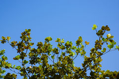 Tree and blue sky background. Between top of the tree and blue sky royalty free stock photos