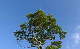 Tree and blue sky. Big tree is middle on  blue sky background Royalty Free Stock Image