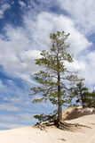 Tree blue sky Bryce Canyon. Tree with blue sky in Bryce Canyon Stock Images