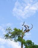 Tree and Blue sky,in clear sky day Royalty Free Stock Image