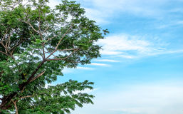 Tree and blue sky. Cloudy blue sky background with part of tree on bottom view Royalty Free Stock Photography