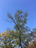 Tree, blue sky. Early autumn forest Royalty Free Stock Image