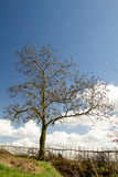 Tree with blue sky and hedge Royalty Free Stock Photo