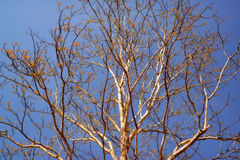 Tree and Blue Sky. The Tree show its branches on spring. It shows new small leaves Royalty Free Stock Images