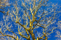Tree on blue sky Stock Photography