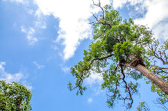 Tree with blue sky Royalty Free Stock Images
