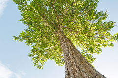 Tree. In blue sky taken from low angle Stock Photo
