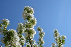 Tree and blue sky. Tree  blue sky clear spring royalty free stock photos