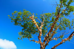 Tree and blue sky Stock Photography