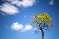 Tree with blue sky and white clouds Stock Images