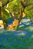 Tree and bluebells Stock Photos
