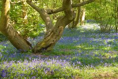 Tree and bluebells Royalty Free Stock Photos