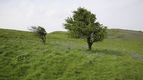 Tree and bluebells in spring Brean Down Somerset England stock video
