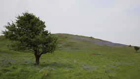 Tree and bluebells in spring Brean Down Somerset England stock footage