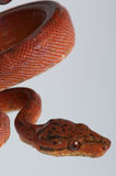 Tree boa. The red tree boa,Corallus enydris, is an beautifully colored constrictor snake from tropical south america Stock Image