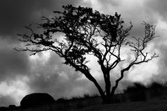 Tree on Bodmin Moor. Tree growing on Bodmin Moor Cornwall, South West England, with a storm comming over the hill Stock Photos