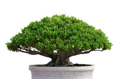 Tree 04. The bonsai tree isolated and white background Royalty Free Stock Image