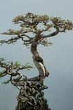 Japanese bonsai tree Stock Photography