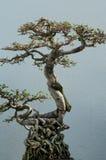 Japanese bonsai tree. An exotic Japanese miniature bonsai tree Stock Photography