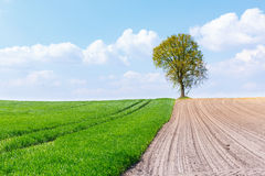 Tree on the border of wheat and an empty field Stock Photography