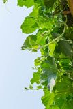 Tree of  bottle gourd Royalty Free Stock Images
