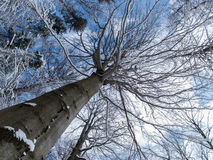 Tree from the bottom. A series of photos of trees from the bottom in winter stock image