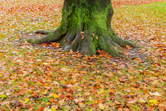 Tree bottom trunk fall autumn colorful leaves orange gold Stock Images