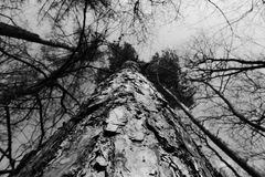 Tree. From bottom view in grayscale Stock Photos