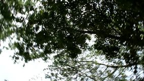 The tree from the bottom, which is moving in a circle. View of the canopy of the tree from the bottom, which is moving in a circle stock video