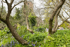 Tree boughs, and bluebells Royalty Free Stock Images