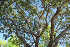 Tree braches and leaves soaking up sunlight in Laguna Woods, Caliornia. Image shows a Brazillian Peppertree (Schinus terebinthifolius) branches and Royalty Free Stock Photography