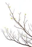 Tree branch Royalty Free Stock Photo