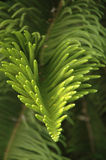 Tree branch. Evergreen tree Stock Images