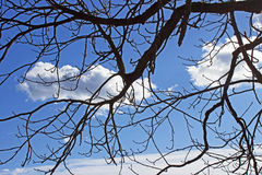 Tree branch against the sky Royalty Free Stock Image