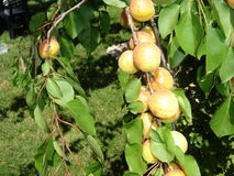 Tree branch with apricots Stock Photos