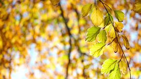 Tree branch  in a autumn forest. Tree branch  in the autumn forest stock video
