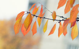 Tree branch with autumn leaves. Autumn background. Yellowed autumn leaves on a branch. Seasonal natural theme Stock Photo