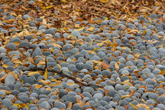 Tree Branch and autumn leaves Lying on Round Grey stones Royalty Free Stock Images