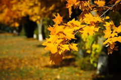 Tree branch with autumn leaves Stock Photo