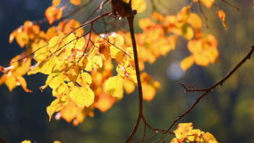 Tree branch with autumn yellow to leaves. Lit with the sun stock video footage