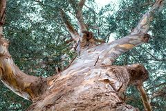 Tree, branch bark, leaves. High and old eucalyptus tree with a rough texture of the bark of the trunk, a view from the bottom up Stock Photography