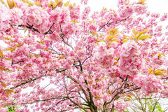 Tree branch with beautiful pink flowers Royalty Free Stock Image