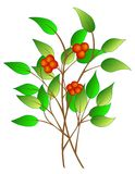 Tree branch with berries Stock Images
