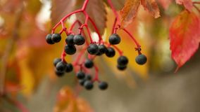 Tree branch berries autumn. Tree branch with berries closeup of orange stock footage
